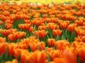 Campo_lleno_de_flores_de_color_naranja[1]